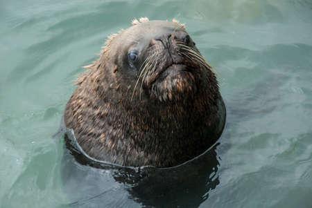 flavescens: South American Sea Lion - Otaria Flavescens - Chile