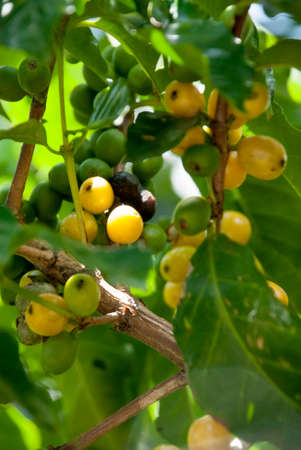 economic botany: Coffee Plant With A Mix Of Ripe And Unripe Coffee Berries