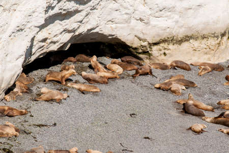 upturned: Colony Of South American Sea Lion On The Beach - Otaria flavescens - Punta Loma Nature Reserve - Puerto Madryn - Argentina Stock Photo