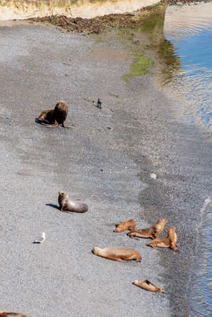 flavescens: South American Sea Lions Lazy In The Sun - Punta Loma Nature Reserve - Puerto Madryn - Argentina - Otaria Flavescens
