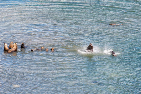 upturned: South American Sea Lions Going To Swim - Golfo Nuevo - Punta Loma Nature Reserve - Puerto Madryn - Argentina - Otaria Flavescens
