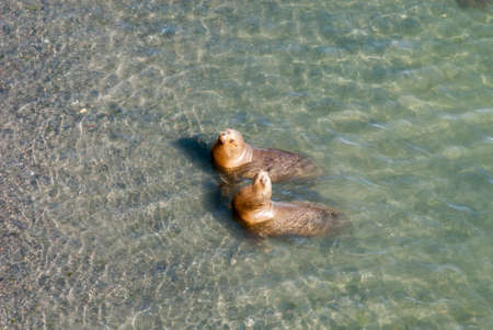 golfo: South American Sea Lions Going To Swim - Golfo Nuevo - Punta Loma Nature Reserve - Puerto Madryn - Argentina - Otaria Flavescens