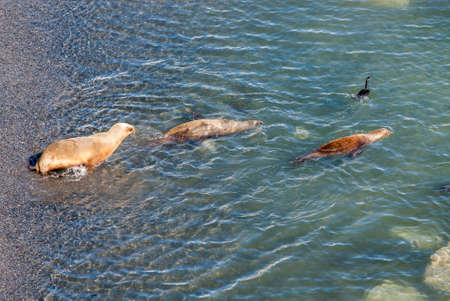 flavescens: South American Sea Lions Going To Swim - Golfo Nuevo - Punta Loma Nature Reserve - Puerto Madryn - Argentina - Otaria Flavescens
