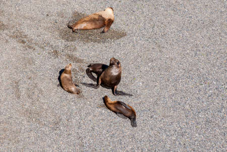 upturned: South American Sea Lions Lazy In The Sun - Punta Loma Nature Reserve - Puerto Madryn - Argentina - Otaria Flavescens
