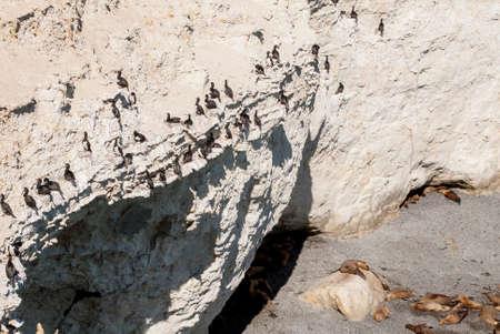 phalacrocoracidae: Cormorant Colony On The Rocks- Otaria flavescens - Punta Loma Nature Reserve - Puerto Madryn - Argentina