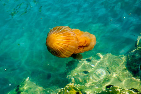 Bright orange jellyfish in a deep blue ocean Stock Photo