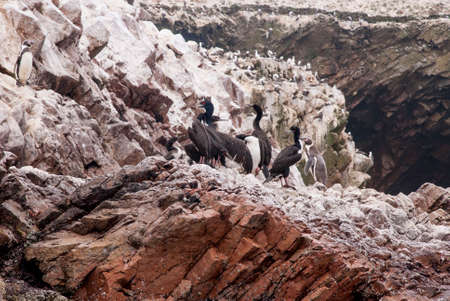 phalacrocoracidae: Colony Of South American Cormorants On The Stony Island - Otaria flavescens - Ballestas Islands Nature Reserve - Peru