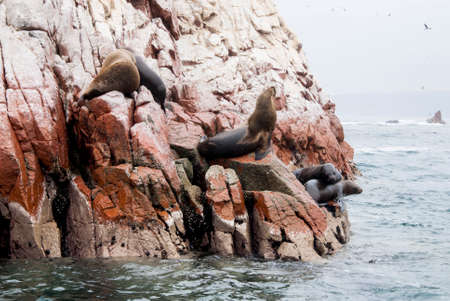 upturned: Colony Of South American Sea Lion On The Stony Ballestas Island - Otaria flavescens - Ballestas Islands Nature Reserve - Peru