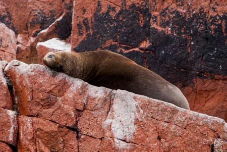 flavescens: Colony Of South American Sea Lion On The Stony Ballestas Island - Otaria flavescens - Ballestas Islands Nature Reserve - Peru