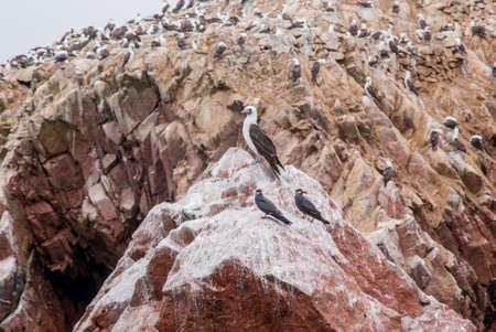 phalacrocoracidae: Colony Of South American Cormorants On The Stony Island - Otaria flavescens - Ballestas Islands Nature Reserve - Peru