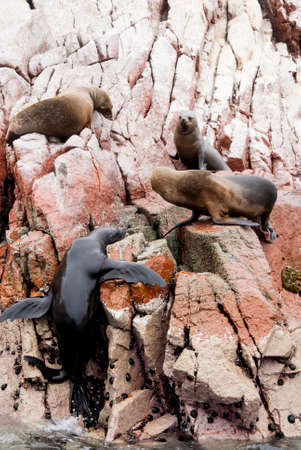 upturned: Colony Of South American Sea Lion On The Stony Ballestas Island - Otaria flavescens - Ballestas Islands Nature Reserve - Peru