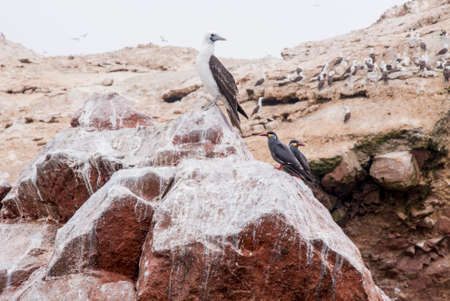 Colony Of South American Cormorants On The Stony Island - Otaria flavescens - Ballestas Islands Nature Reserve - Peru