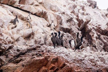 cormorants: Cormorants and Penguins On The Stony Island - Otaria flavescens - Ballestas Islands Nature Reserve  Peru Stock Photo