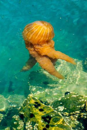 Bright orange jellyfish in a deep blue ocean Stock Photo