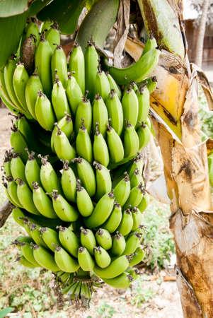 natures: Natures Garden - Bunch Of Green Bananas On A Banana Tree - Ecuador
