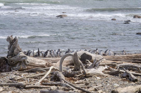 Punta Arenas - Penguin Colony on the beach - Patagonia - Chile Stock Photo