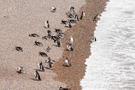 Magellanic Penguin colony of Punta Tombo, one of the largest in the world, Patagonia, Argentina Standard-Bild