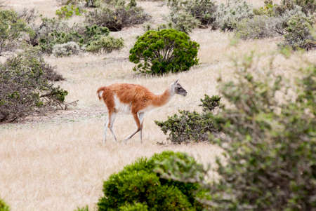 Guanaco in the national park of Punta Tombo, Argentina. Photo taken on: November 14th, 2013