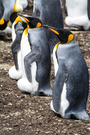 King Penguin - Aptenodytes patagonicus - Colony of king penguins in Bluff Cove, Falkland Islands Stock Photo