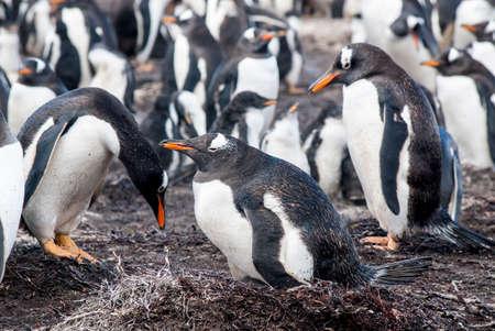 pollitos: Gentoo Penguin at the seaside- Falkland Islands