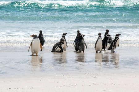 Gentoo Penguin at the seaside- Falkland Islands