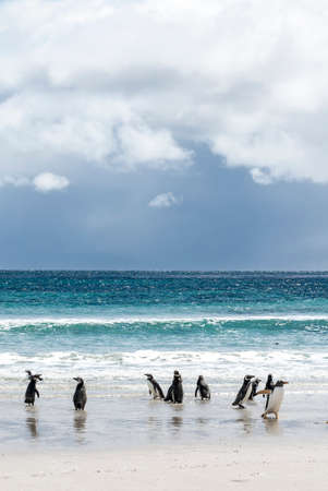 A waddle of penguins playing on the beach. Stock Photo