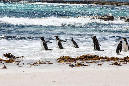 Gentoo Penguin - Pygoscelis papua - Magellanic Penguin - Spheniscus magellanicus - Falkland Islands Stock Photo