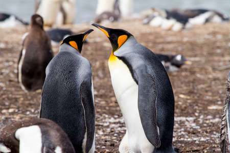 King Penguin - Aptenodytes patagonicus - Colony of king penguins in Falkland Islands