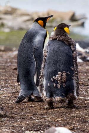 king penguins: king penguins in Falkland Islands