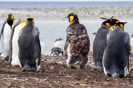 flightless: Colony of king penguins in Falkland Islands- Back view