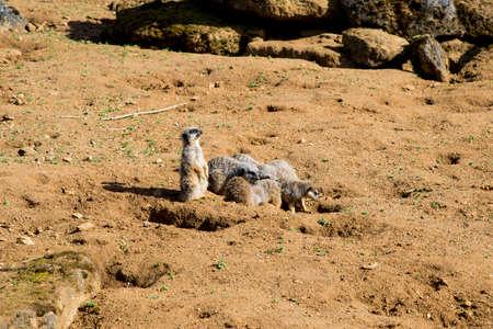 Meerkat sits and looks around - funny animal - Beale Park United Kingdom - 25.03.2017