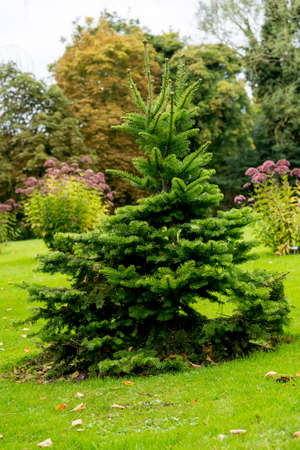Picea abies Pusch- the Norway spruce is a species of spruce native to Northern, Central and Eastern Europe.