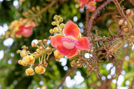 Blooming of cannon ball tree. This flower's scientific name is couroupita guianensis. Flower of Buddha and is grown in the tropics. Stock Photo