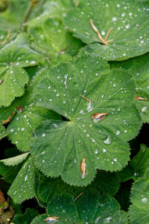 Green leafs with water drops - lotus effect