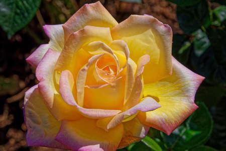 Close up of rose - English rose garden, United Kingdom Standard-Bild