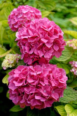 Bush of pink Bigleaf hydrangea (Hydrangea macrophylla) flowers growing in Summer in the UK