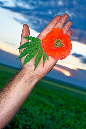 Single Poppy flower keeping in hand - Countryside - Romania - Common Poppies, Poppy Field