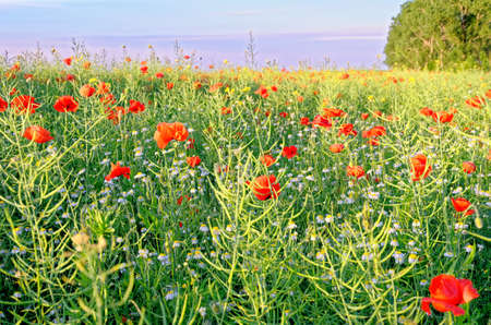A view of a Poppy field in countryside - Romania - Common Poppies, Poppy Field