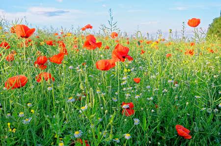 A view of a Poppy field in countryside - Romania - Common Poppies, Poppy Field Foto de archivo