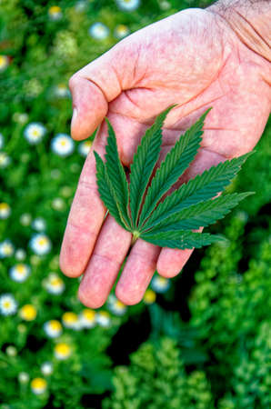 Hemp Marijuana leaf from wild plants growing on the side of the road in Romania