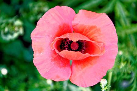 Single Poppy flower - Romania - Common Poppies, Poppy Field