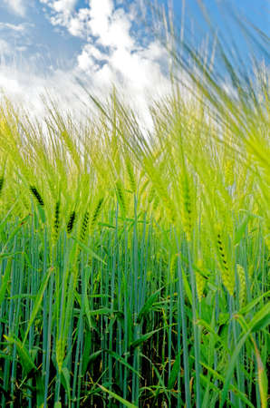 Ripening crop of wheat growing in a field - early Summer - Romania