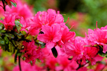 Flowers trusses of a Rhododendron bow bells plant variety, a hybrid of corona x williamsianum in Exbury gardens during 20th of May 2021 - Hampshire, England, United Kingdom