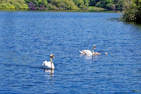 Mute Swan (Cygnus olor) on Wick Pond Virginia Water Surrey England United Kingdom Foto de archivo