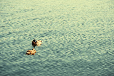 color image mallard duck: Duck floating on the lake