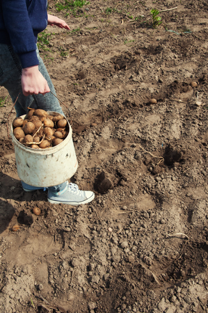 hidef: planting potato seeds traditional method Stock Photo
