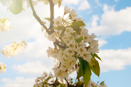 flowering cherry in spring on a sunny day Stock Photo