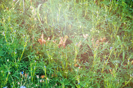 scamper: overgrown with weeds farmland lupine background. Stock Photo