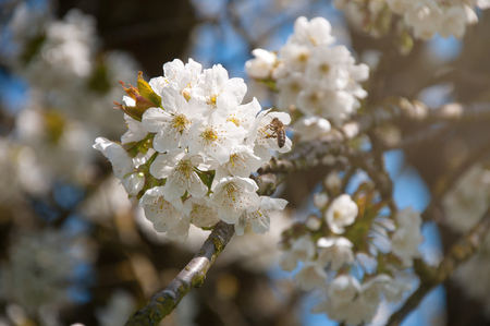 timelapse: Cherry blossom time-lapse on blue background