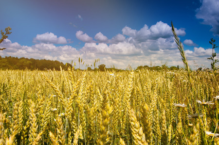 as far as the eye can see: The image of wheat, farmland